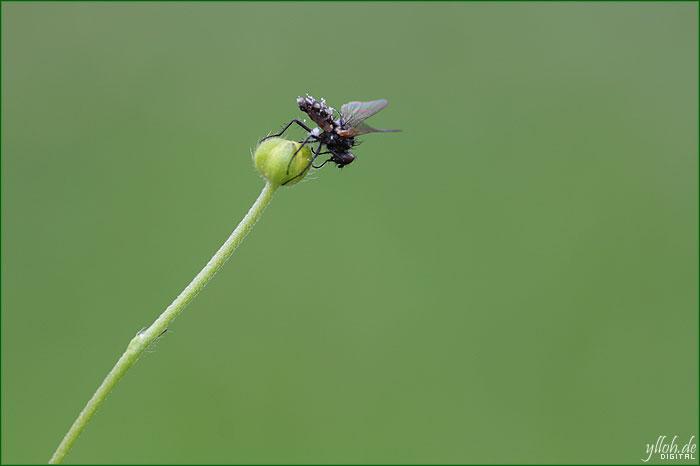 Fliege – tot